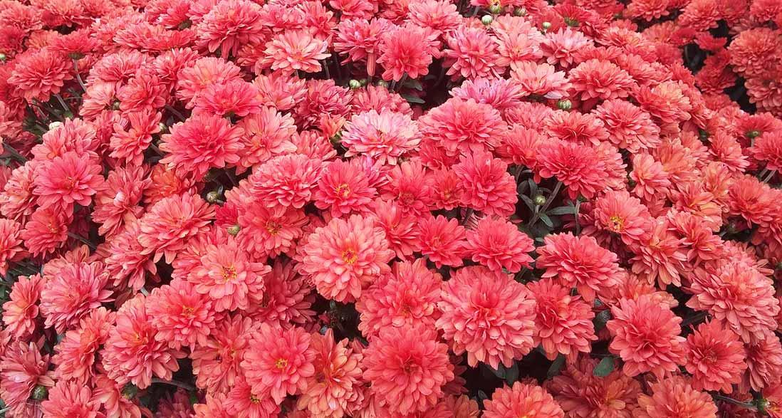 Garden Mum pink flowers