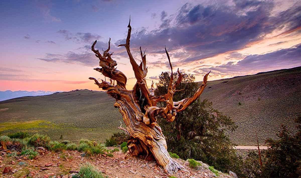 Methuselah tree in Inyo County, California