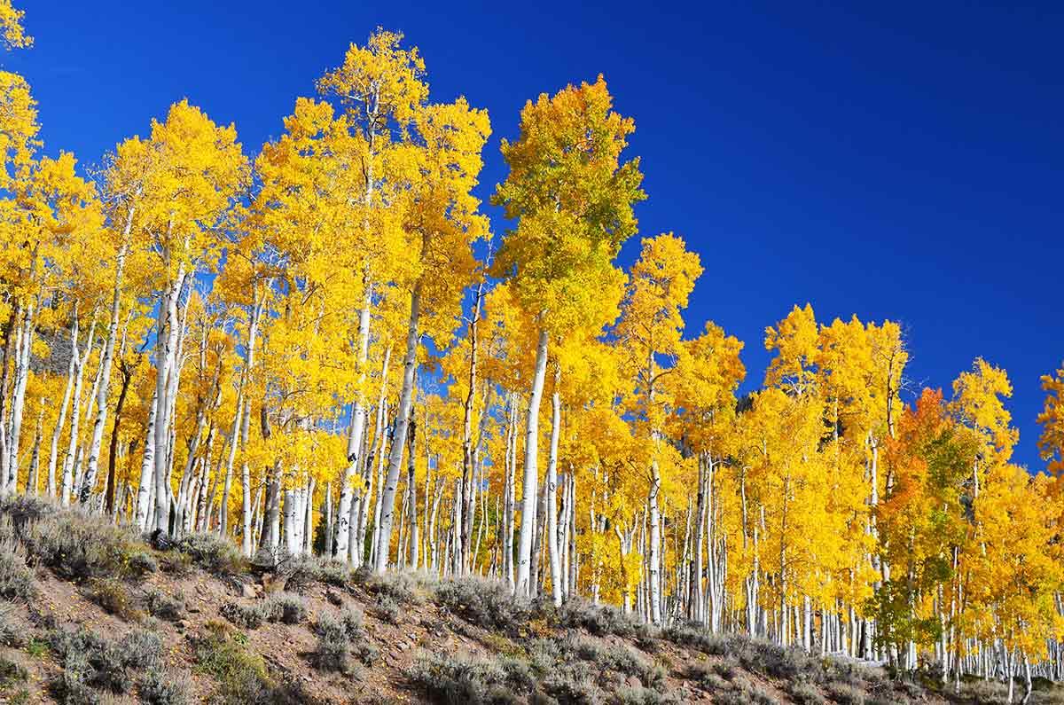 Pando tree in Fishlake National Forest in Utah