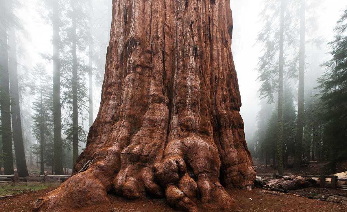 General Sherman Sequoia tree trunk in California.