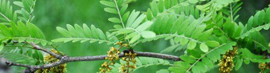 Honey-locust