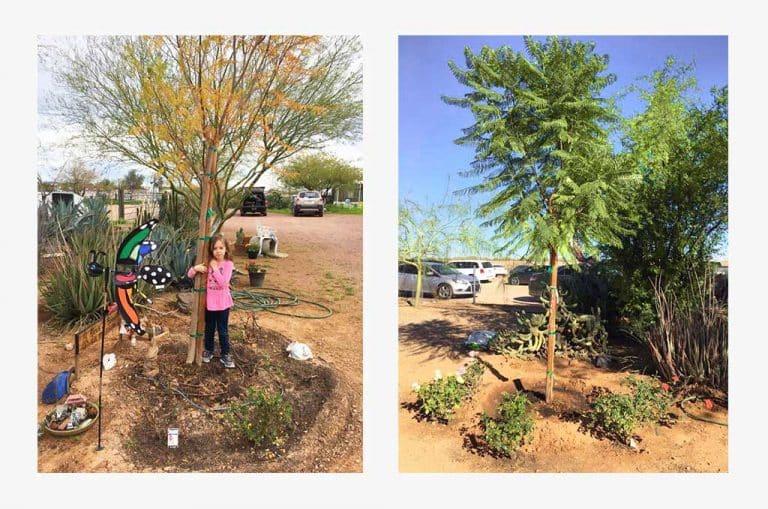 Bios Urn Jacaranda tree planted using a Biodegradable urn