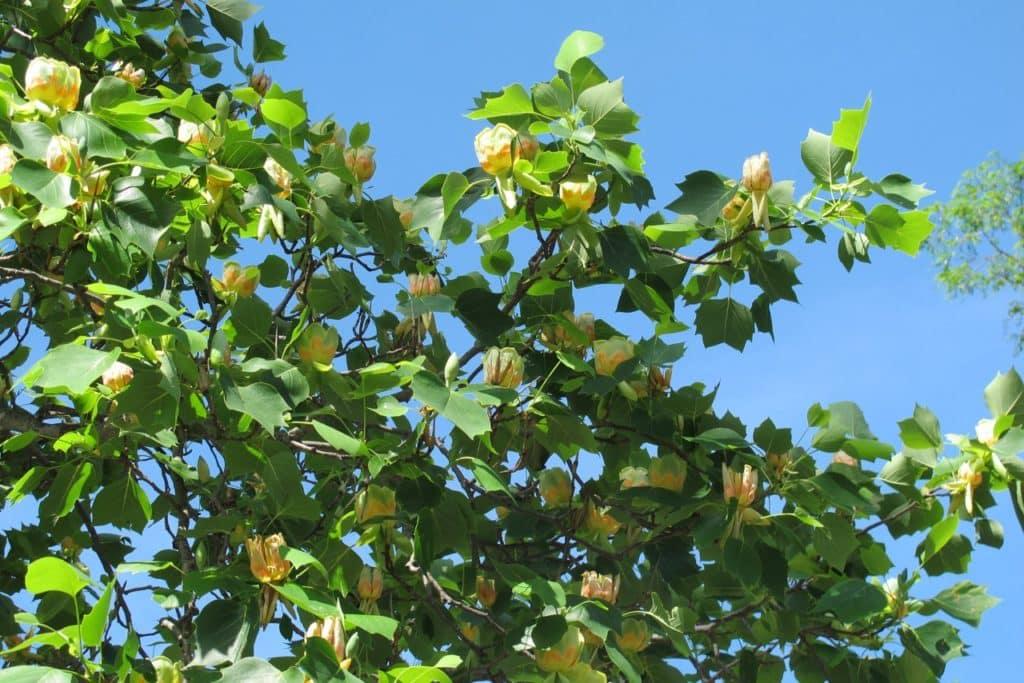 Arbres à Croissance Rapide : d couvre ces plantes et arbres croissance rapide urne bios ~ Nature-et-papiers.com Idées de Décoration
