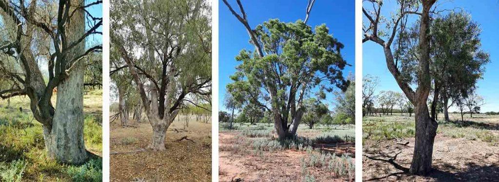 Bios Urn Blog: The amazing aboriginal practice of scar trees and trees in trees symbolizing birth and death / Blog Urna Bios: La Fascinante Práctica Cultural De Plantar Un Árbol En Otro Árbol, Símbolo de La Vida Y La Muerte