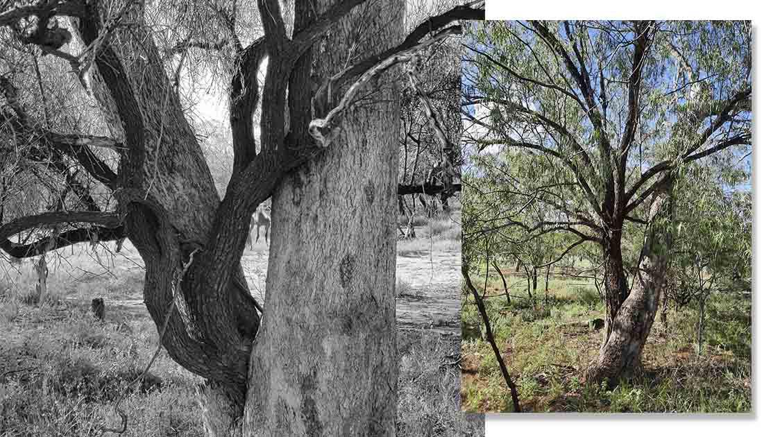 La Fascinante Práctica Cultural De Plantar Un Árbol En Otro Árbol, Símbolo de La Vida Y La Muerte